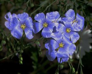"""Flax Flowers"" by D. Gordon E. Robertson"