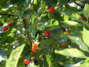 cherries in a tree